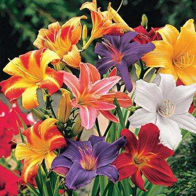 ASSORTED-DAYLILY
